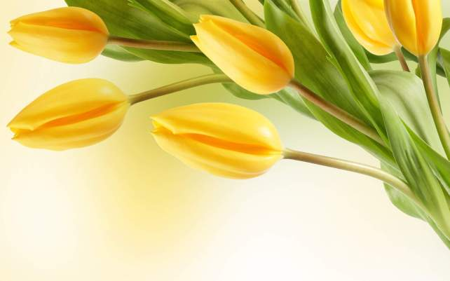 yellow-tulip-flower-wallpapers-all-flowers-send-flowers-comments